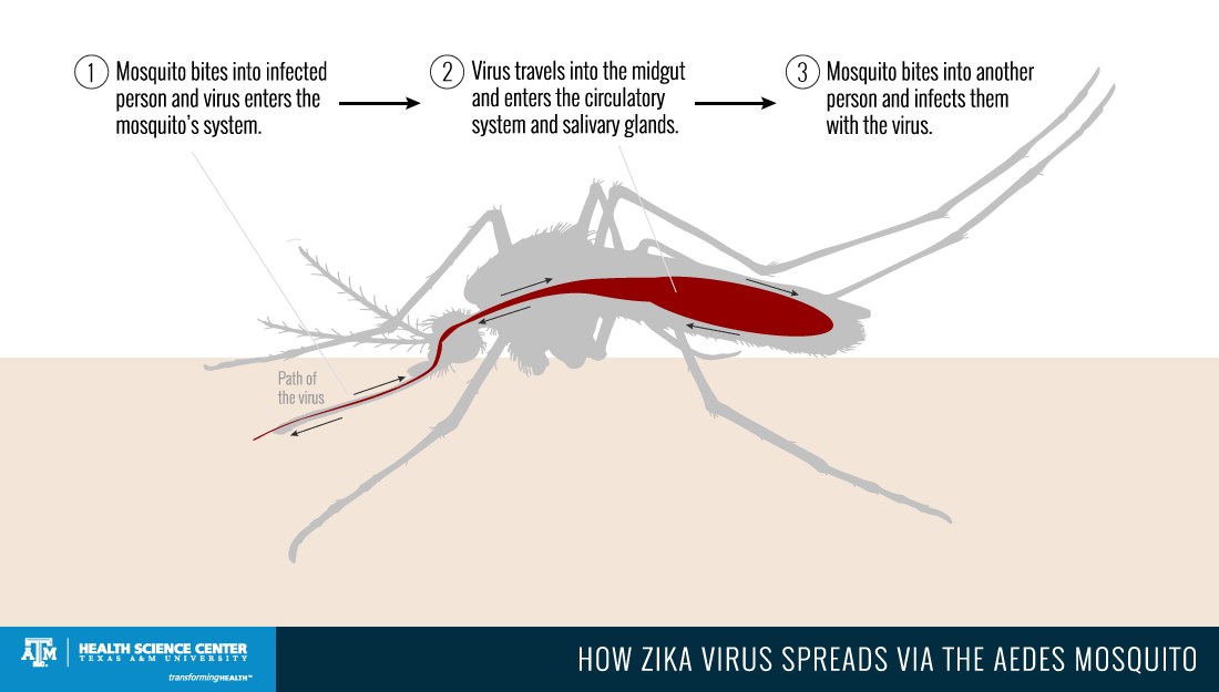 zika virus path