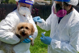 one person in PPE holds a Yorkshire terrier while another person in PPE does a swab test