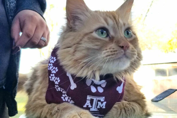 long haired orange tabby cat wearing a Texas A&M scarf